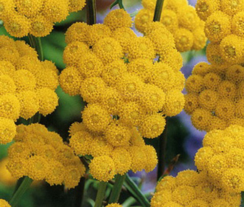Ageratum Yellow Lonas Inodora Seeds