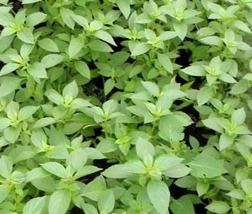 Basil Lemon Organic Ocimum Basilicum Seeds