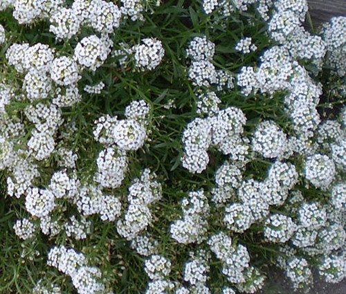 Alyssum Tiny Tim Lobularia Maritima Seeds