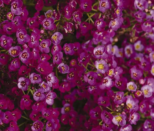 Alyssum Oriental Nights Lobularia Maritima Seeds