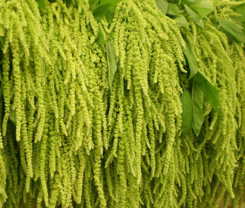 Amaranthus Love Lies Bleeding Green Amaranthus Caudatus Seeds