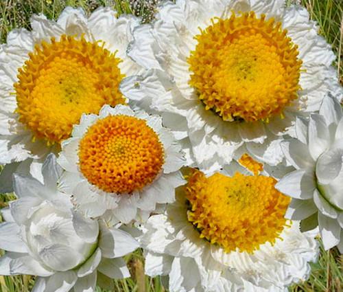 Ammobium Alatum Grandiflorum Seeds