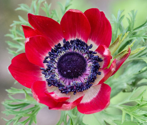 Anemone Red Anemone Multifida Rubra Seeds