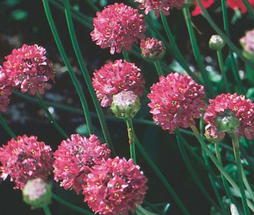 Armeria Joystick Mix Armeria Maritima Seeds