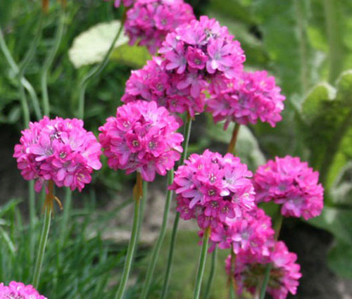 Armeria Sea Pink Armeria Maritima Splendens Seeds