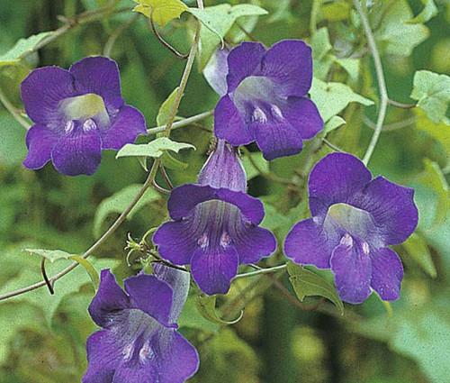 Asarina Climbing Snapdragon Violet Asarina Scandens Seeds