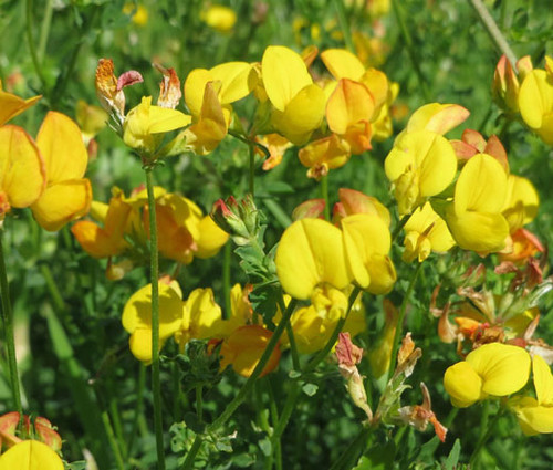 Bird's Foot Trefoil Lotus Corniculatus Seeds
