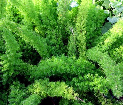 Asparagus Foxtail Fern Asparagus Densiflorus Meyeri Seeds