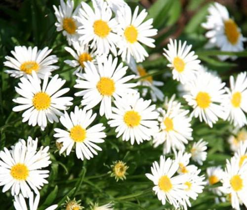 Aster Alpine White Aster Alpinus Seeds
