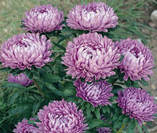 Aster Dwarf Milady Lilac Callistephus Chinensis Seeds