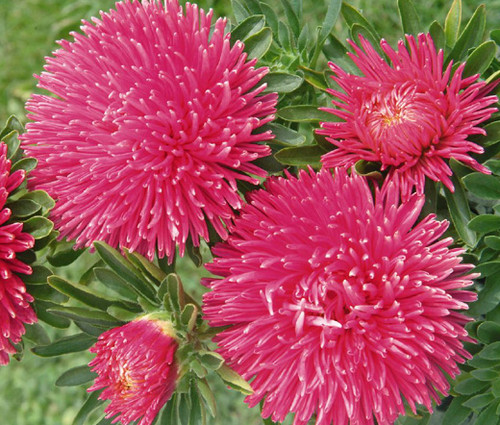 Aster Gremlin Double Dark Rose Callistephus Chinensis Seeds
