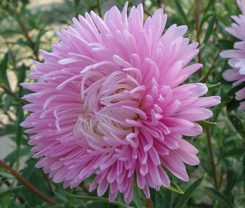 Aster Gremlin Double Light Rose Callistephus Chinensis Seeds
