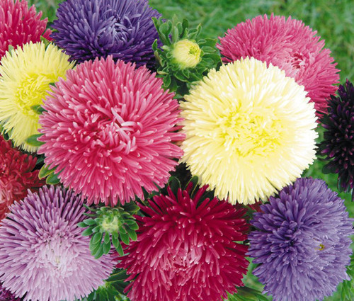 Aster Gremlin Double Mix Callistephus Chinensis Seeds