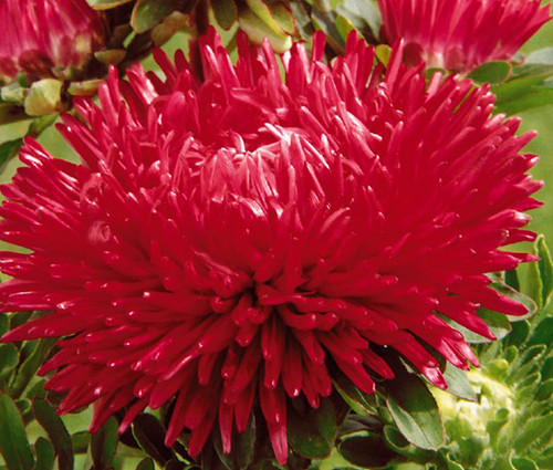 Aster Gremlin Double Red Callistephus Chinensis Seeds