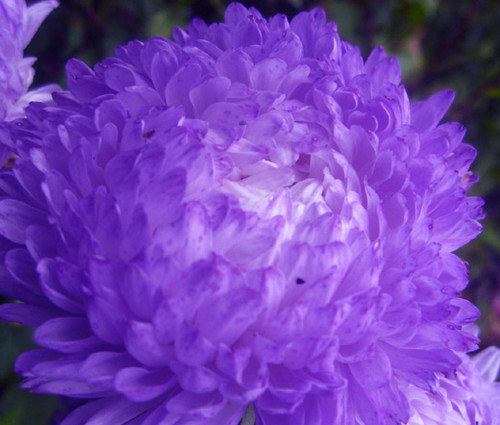 Aster Gremlin Double Violet Callistephus Chinensis Seeds