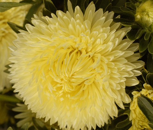 Aster Gremlin Double Yellow Callistephus Chinensis Seeds