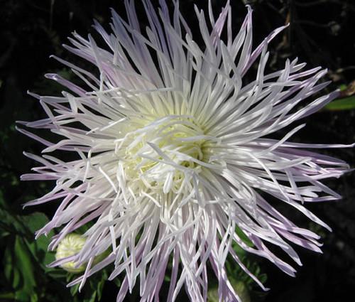 Aster Needle Unicum White Callistephus Chinensis Seeds