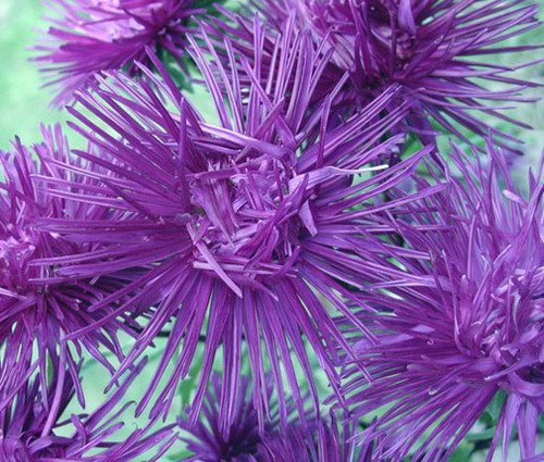 Aster Needle Unicum Violet Callistephus Chinensis Seeds