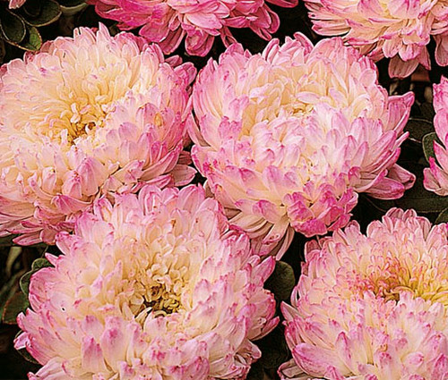Aster Paeony Duchess Apricot Callistephus Chinensis Seeds