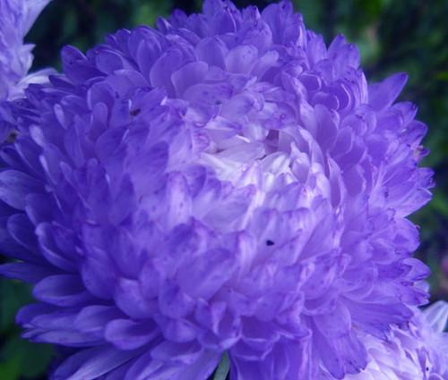 Aster Paeony Duchess Blue Callistephus Chinensis Seeds