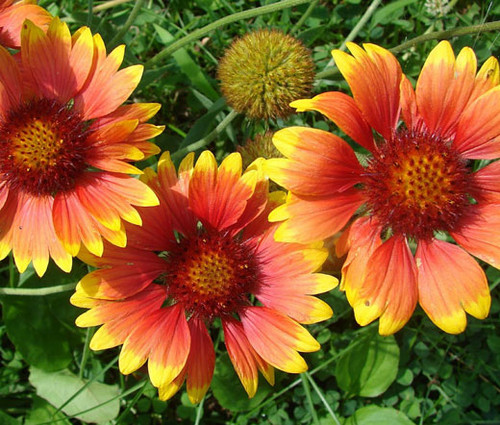 Blanket Flower Gaillardia Aristata Seeds