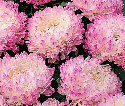 Aster Paeony Duchess Pink Callistephus Chinensis Seeds