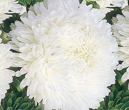 Aster Paeony Duchess White Callistephus Chinensis Seeds