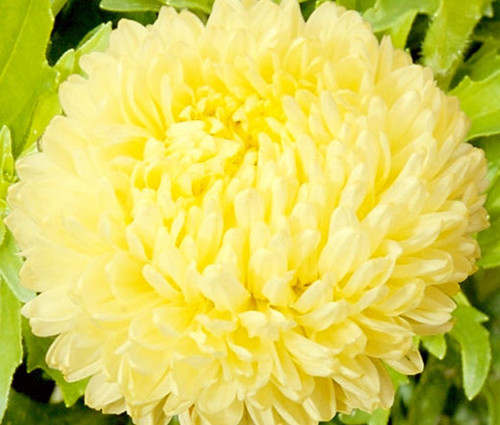 Aster Paeony Duchess Yellow Callistephus Chinensis Seeds