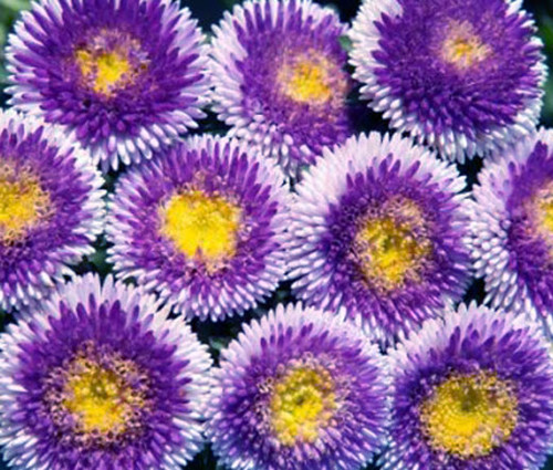 Aster Pompon Blue Moon Callistephus Chinensis Seeds
