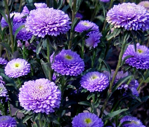 Aster Pompon Blue Callistephus Chinensis Seeds