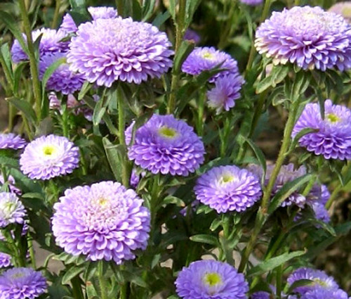 Aster Pompon Light Blue Callistephus Chinensis Seeds