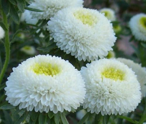 Aster Pompon White Callistephus Chinensis Seeds