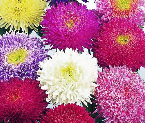 Aster Powder Puff Mix Callistephus Chinensis Seeds