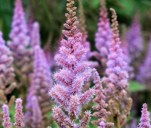 Astilbe Chinese Pumila Astilbe Chinensis Seeds