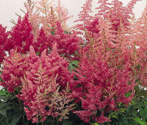 Astilbe Showstar Mix Astilbe Arendsii Seeds