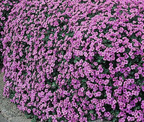 Rock Cress Aubrieta Hybrida Superbissima Cascading Red 50 Seeds