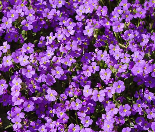 Aubrieta Rock Cress Purple Aubrieta Hybrida Hendersonii Seeds