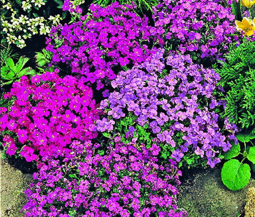 Aubrieta Rock Cress Royal Mix Aubrieta Hybrida Seeds