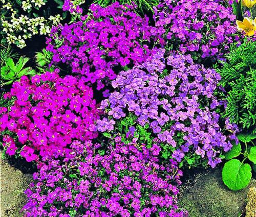 Aubrieta Rock Cress Royal Mix Aubrieta Hybrida Seeds