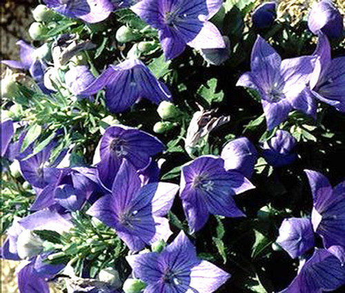 Balloon Flower Blue Platycodon Grandiflorus Seeds