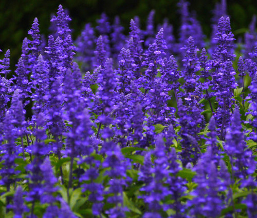 Sage Blue Salvia Farinacea Seeds