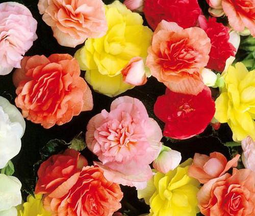 Begonia Tuberous Double Mix Begonia Tuberosa Seeds