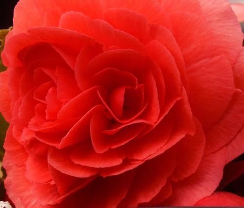 Begonia Tuberous Double Red Begonia Tuberosa Seeds