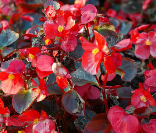 Begonia Wax Red Begonia Semperflorens Seeds
