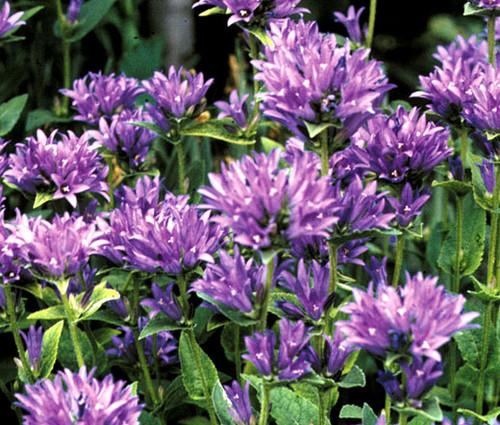 Bellflower Clustered Campanula Glomerata Acaulis Seeds