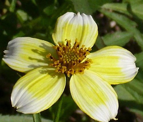 Bur Marigold Bidens Aurea Seeds