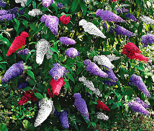 Butterfly Bush Mix Buddleia Davidii Seeds