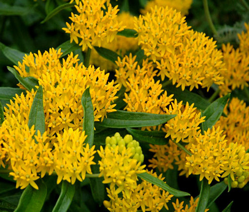 Butterfly Weed Hello Yellow Asclepias Tuberosa Seeds