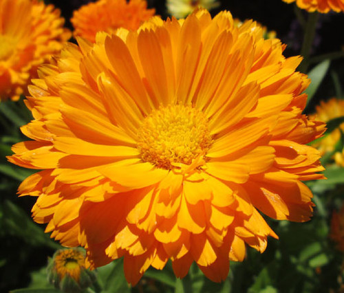 Calendula Pot Marigold Calendula Officinalis Seeds