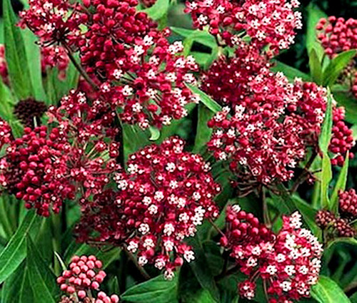Butterfly Weed Rose Asclepias Incarnata Seeds